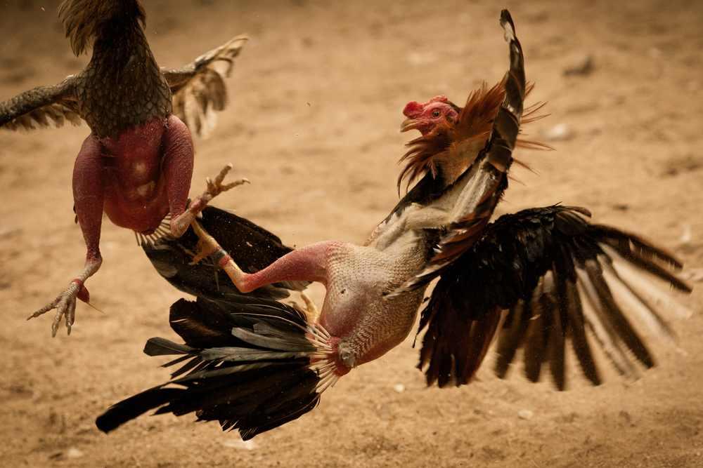 Judi Sabung Ayam S128 Dan Keunikannya